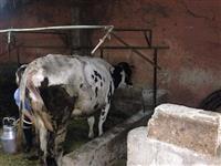 Krava frizerka
