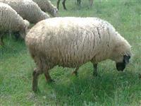 200 ovci