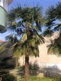 Palmi so razlicni golemini