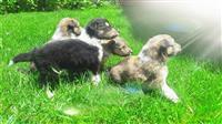 Mali Skotski Ovcar LESI kucinja