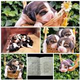 Beagle kutrenca