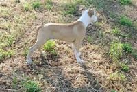Amerikanski staford terrier