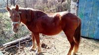 Kobila stara 8 godini