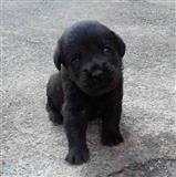 Slatki Labradori
