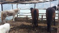 Konji za dotur na drva