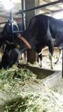 Stalski kravi