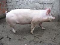 Svinji za kolenje od 180-220 kg