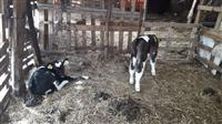 Stado kravi i telinja