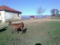 Mladi kozi