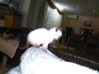 Sijamsko mace