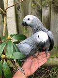 Afrikanski sivi papagali