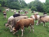 Kravi molzni telinja i bikovi