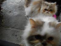 Dve Persiski macinja
