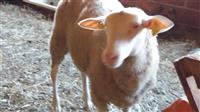 Istocni frizejski ovci