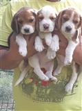 Beagle 3 kucina