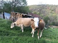 Krava i junica