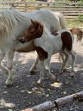 Пони коњи