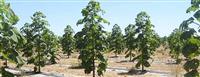 Rasad za brzorastecko drvo PAULOWNIA ELONGATA