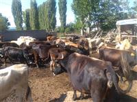 Goveda krava tele