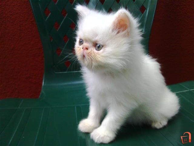 Postavi sliku i zatrazi sledecu - Page 31 Malo-persisko-mace