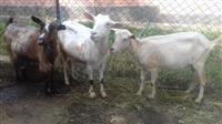 Tri mladi kozi so tri nivni jarinja