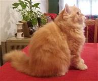 Persisko mace