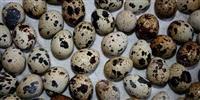 Jajca od japonski prepelici Pilina i nesilki