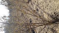 Rasat na lesnaci