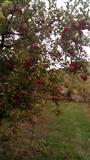 Jabolka neprskani
