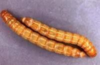 Brasnarski crv Meal Worms