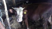 Kravi i kozi
