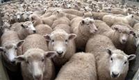 Stado ovci