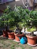 Palmi idealni za vo dvor