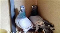 Ukrasni golubi