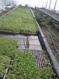 Rasad marula zelena salata