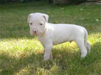 Dogo Argentino malecki