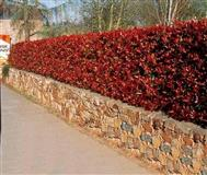 Fotinija Red Robin sadnici vo crveno ruvo