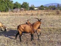 Jarec i koza