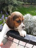 Beagle dog-Snoopy dog