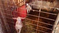 Kozi i jare