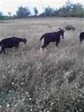 Se prodavaat kozi i masina za molzenje kozi
