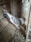 Gulabi golubi