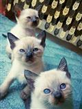 Sijamski macki