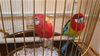 Dva para papagali