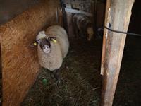 Koza ovca i jagne i detelina