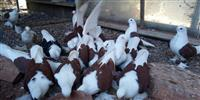 Papagali dijamantski grlici gulabi i ribi