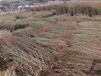 Odgleduvani gradinarski selski metli
