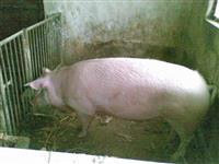 Svinja 120kg