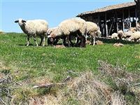 40 ovci