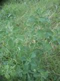 Ocajnica Macina treva Ocajnica Marrubium vulgare